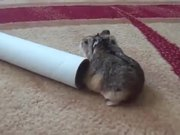 Fat Hamster Fails To Get Inside Pipe