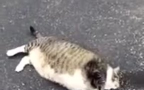 Hilarious Attempt Of Fat Cat To Roll Over