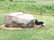 Duck Chases Dog