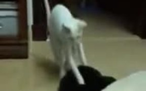 Scared Cat Doing A High Jump