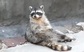 Raccoons Are The Funniest Pet
