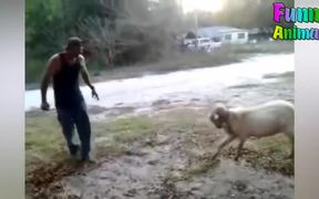 Funny Goats Attacking & Head Butting Everything