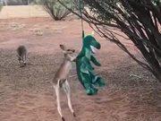 Baby Kangaroo Meets A Dragon