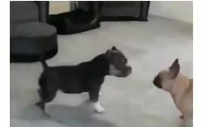 Cute Puppies Fight With No Contact
