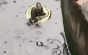 Titanic Frog Couples