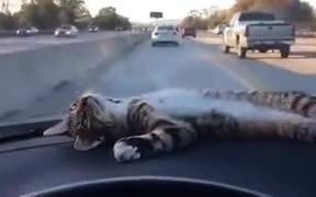 Kitty Chilling On Car Dashboard