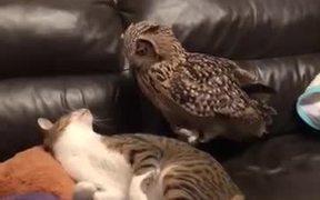 Owl Vs Cat
