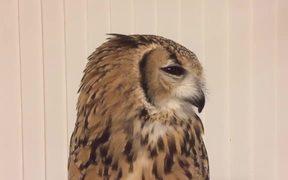 Owl's Sneeze