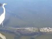 Crane Enjoying A Ride On An Alligator