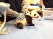 Panda Cub Screaming Like A Human