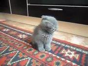 Drowsy Fluffy Kitten Falling Asleep