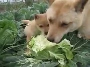 A Dog And A Puppy Biting On To A Cauliflower