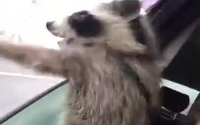 Raccoon Excited To Feel The Air In A Car