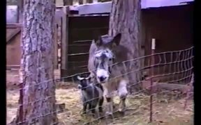 Clever Goat Using Donkey To Achieve Freedom