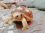 Cute Pet Tortoise Eating