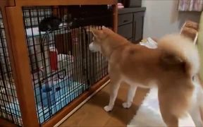 Shiba Inu Eager To Play With Cute Kitten