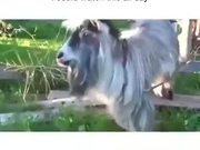 If A Goat Was A Beatboxer