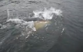 Seal Stealing Fish From Fisherman