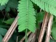 Have You Ever Seen This Amazingly Shy Plant?