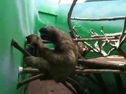 Sloth Practicing Air Piano