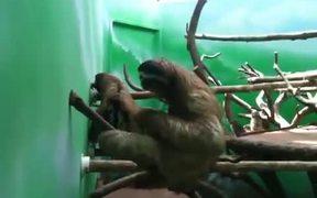 Sloth Practicing Air Piano