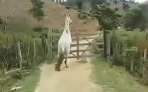 Smart Horse Know How To Open A Gate