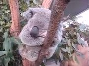 The Chubby Face Koala Is Here For You