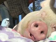 A Pig Who Is Enjoying Life More Than You