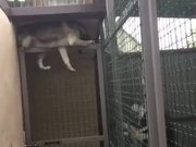 Husky Escaping Captive State