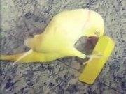 How Parrot Actually Flirt