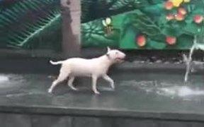 Bull Terrier Having A Fun Time