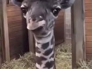 Goofy Baby Giraffe Shows Tongue