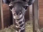 Goofy Baby Giraffe Shows Tongue