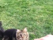 Ever Seen A Cat Playing Fetch? Oddity!