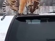 Proof Of Tigers Being Related To Cats