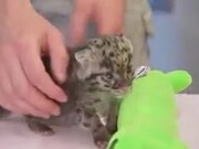 Newborn Leopard Cub Will Make You Go Aww!