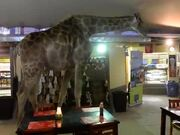 The Giraffe Decided To Have A Few Drinks!