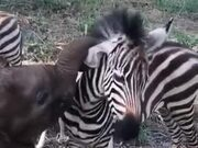 Baby Animals Playing With Each Other!