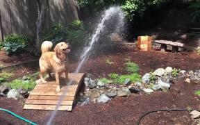 Sabre Dance Of Dog
