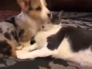 Tiny Corgi & A Cat Are Good Friends!