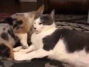 Tiny Corgi & A Cat Are Good Friends!