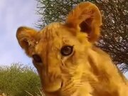 Lion Cubs Curious About A Camera
