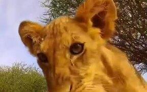 Lion Cubs Curious About A Camera