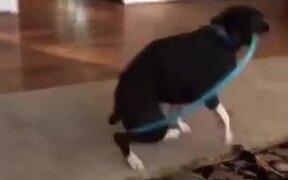A Hula Hooping Dog