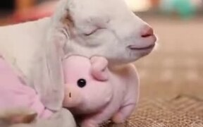 This Baby Goat Is Obsessed With It's Piggy!