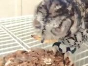 Blind Owl Gets Hand-Fed Worms