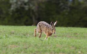 Hare Roaming on Grassland