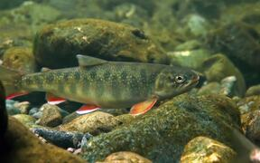 Dolly Varden Fish