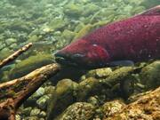 Red Chinook Salmon
