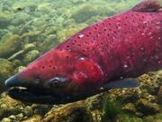 Red Chinook Salmon